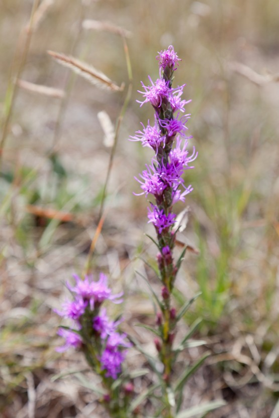 Photo of Gay feather, Liatris punctate.