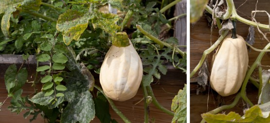 two photos of a Fordhook heirloom acron squash