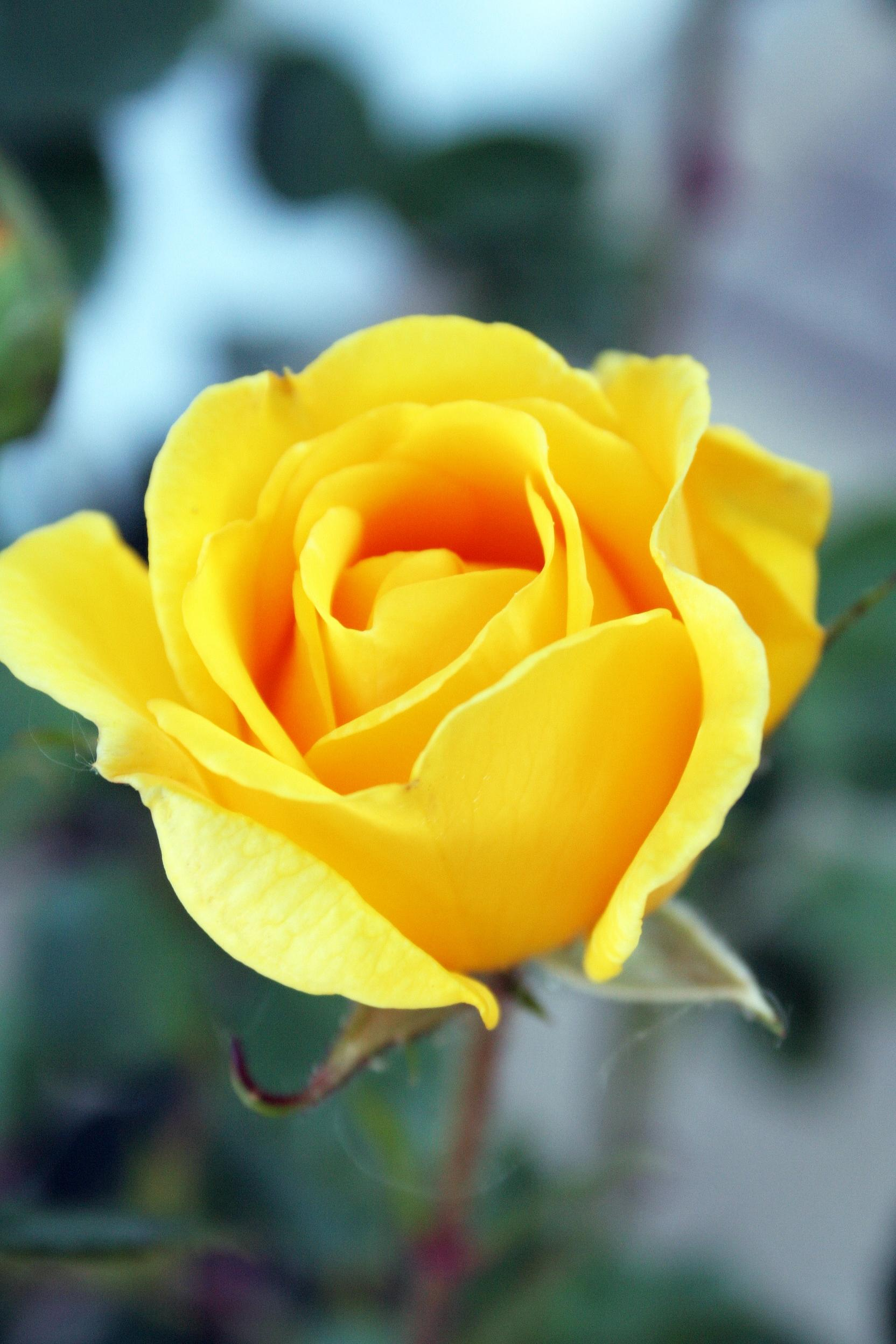 yellow roses highlight women's day – uccs communique