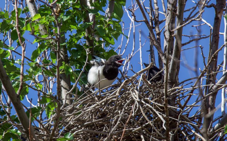 Baby magpies learning to fly