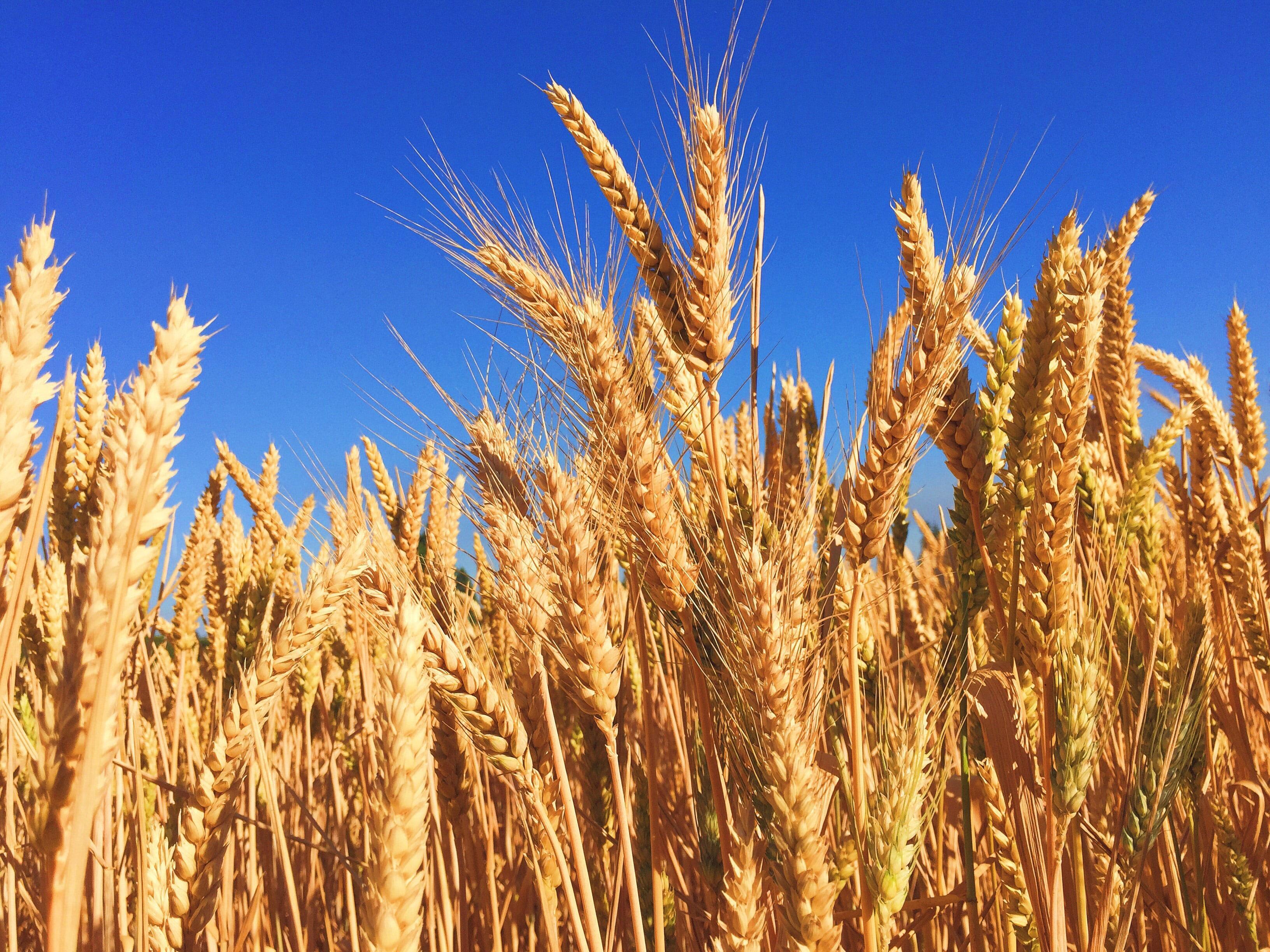 Stalks of wheat with a blue sky in the background