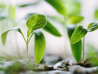 Green seedlings push up through brown earth