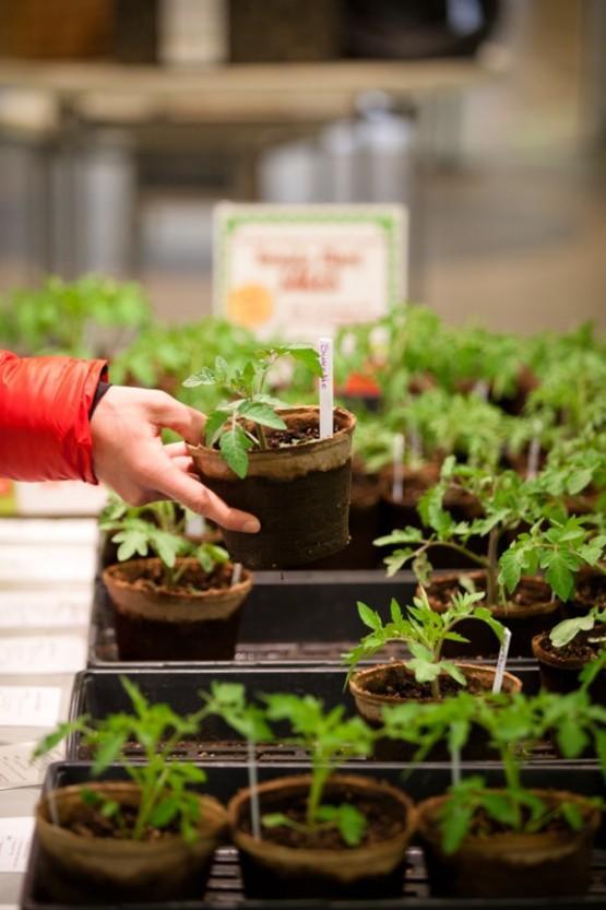 tomato plants 1
